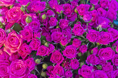 Pink small roses in marketplace. Background of pink small roses in marketplace stock photos