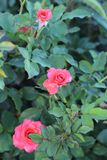 Pink small roses in the park. Fresh small pink roses on the background of its green leaves royalty free stock images
