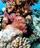 Pink Small scale Bearded Scorpionfish Red Sea Stock Photography