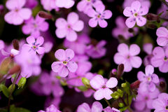 Pink small wild flowers in nature Royalty Free Stock Images