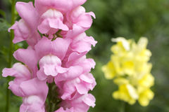 Pink snapdragon Stock Image