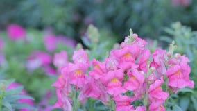 Pink Snapdragon flower and green leaf in snapdragon flower garden at sunny summer or spring day. Snapdragon flower. stock video
