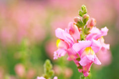 Pink snapdragon flowers Stock Image