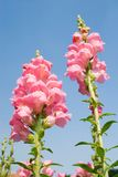 Pink Snapdragon flowers under blue sky Stock Photo