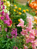 Pink snapdragon and many multicoloured flowers in the background. In a garden on a flowerbed Stock Images