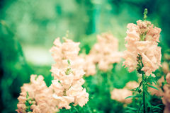 Pink snapdragons Stock Images