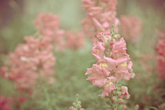 Pink snapdragons Royalty Free Stock Photography