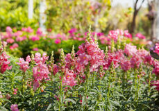 Pink snapdragons in garden Stock Image