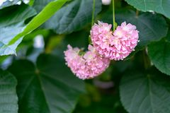 Pink Snowball - Dombeya cayeuxii blooming with pink flowers. stock image