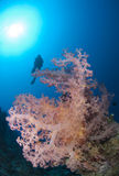Pink soft coral with scuba diver silhouette. Stock Photo