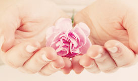 Pink soft flower in woman hands. Spa, protection, care. Stock Image