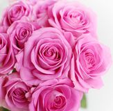 Pink soft roses Stock Photos