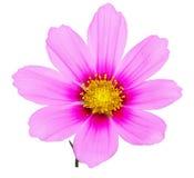 Pink sonata flower Royalty Free Stock Photography