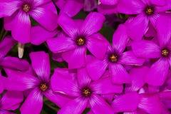 Pink-sorrel (Oxalis articulata) Royalty Free Stock Image