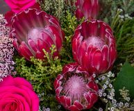 Pink South African proteas and roses stock photo
