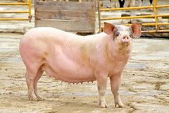 Pink Sow Stock Photo