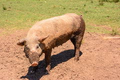 Pink sow dirty of mud Stock Image