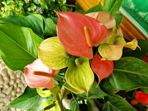Pink spadix Flower. In the garden Royalty Free Stock Photos