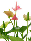Pink spadix flower Stock Photography
