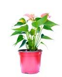 Pink spadix flower isolated on white background Stock Photos