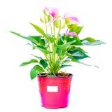 Pink spadix flower isolated on white background Stock Images