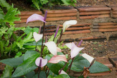 Pink spadix in the garden Royalty Free Stock Photos
