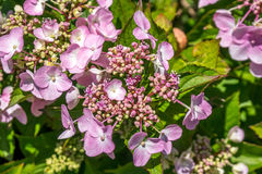 The Pink Sparkler Spirea flowers is a smaller shrub with a round Stock Image