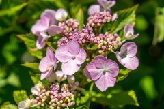 The Pink Sparkler Spirea flowers is a smaller shrub with a round Stock Images