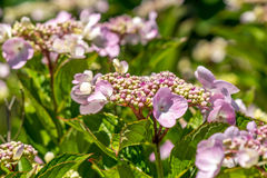 The Pink Sparkler Spirea flowers is a smaller shrub with a round Royalty Free Stock Photos