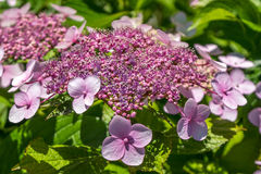The Pink Sparkler Spirea flowers is a smaller shrub with a round Stock Photo