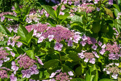 The Pink Sparkler Spirea flowers is a smaller shrub with a round Royalty Free Stock Images