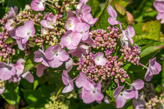 The Pink Sparkler Spirea flowers is a smaller shrub with a round Royalty Free Stock Photography