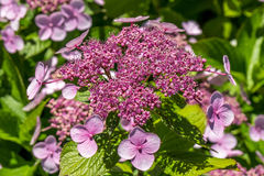 The Pink Sparkler Spirea flowers is a smaller shrub with a round Royalty Free Stock Image