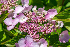 The Pink Sparkler Spirea flowers is a smaller shrub with a round Royalty Free Stock Photo