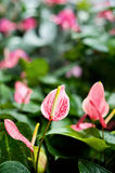 Pink Spathiphyllum Stock Photo