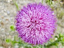 pink spear thistle Stock Image