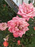 Pink speckled garden roses stock photos