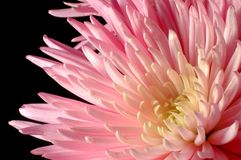 Pink Spider Chrysanthemum. Islated on black Royalty Free Stock Image