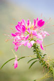 Pink Spider flower Royalty Free Stock Photography