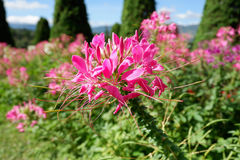 Pink Spider flower. In the Flower garden Royalty Free Stock Images