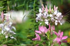 Pink Spider flower. Stock Photo