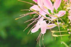 Pink Spider flower Stock Images