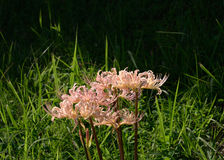 Pink spider lily, Japan Stock Photo