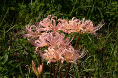 Pink spider lily, Japan Royalty Free Stock Photos