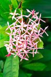 Pink spike flower on background,front view. From the top, technical cost-up Royalty Free Stock Images