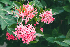 Pink spike flowers with green leaf on tree; colorful natural outdoor Stock Photos