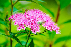 Pink spiraea bumalta flower Royalty Free Stock Photos