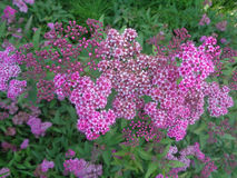 Pink spiraea bush in the garden. Pink flowers spiraea among green leaves in summer garden Stock Images