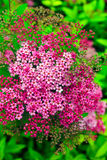 Pink spiraea flowers Royalty Free Stock Photos