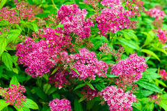 Pink spiraea flowers Stock Images